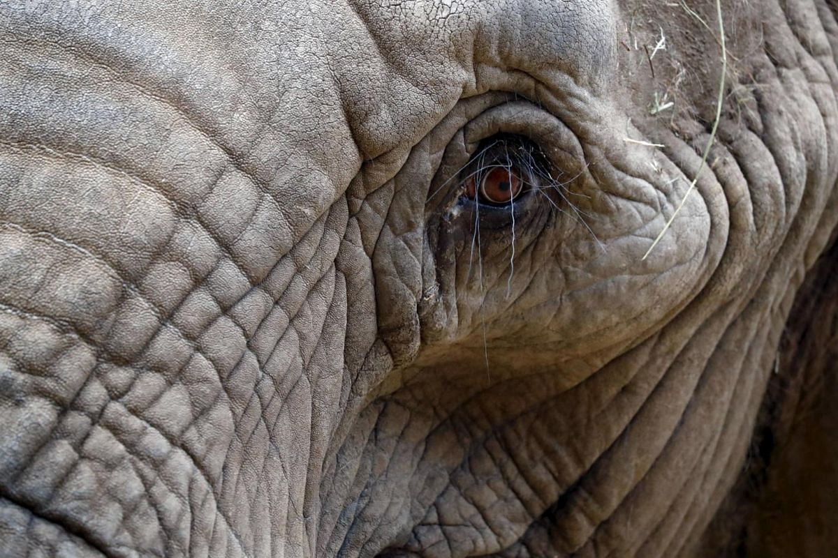 An African elephant eyes visitors as he stands in an enclosure at Opel Zoo in Kronberg, Germany.