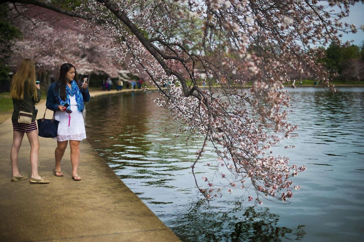 Women use their cell phones to take pictures as the cherry blossoms begin to bloom at the Tidal Basin in Washington, DC, March 22, 2016. PHOTO: AFP