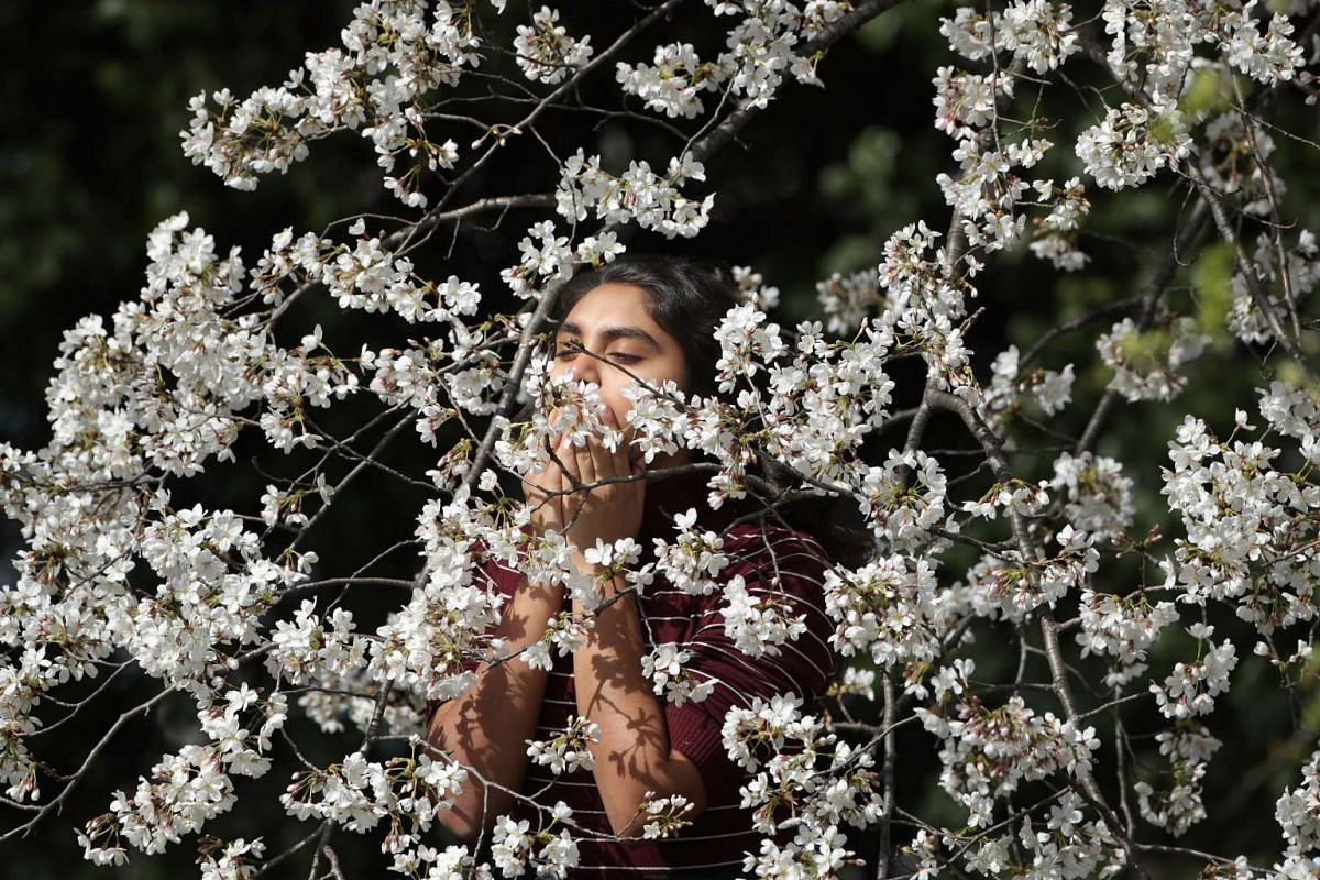 A young woman smells the blooms on one of the cherry trees surrounding the Tidal Basin near the National Mall, on March 23, 2016.