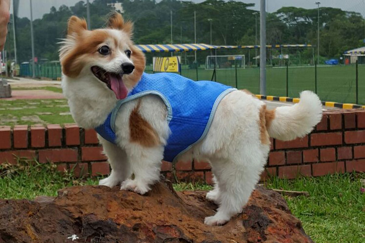 Cooling vest for dogs.