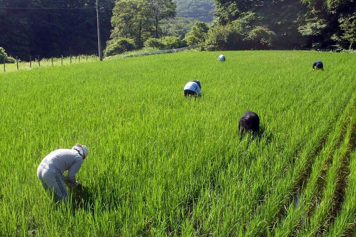 Workers planting rice at Iitate farm in 2010, a year before the March 11 earthquake and tsunami struck, triggering a nuclear disaster that forced the village's 6,000 residents to evacuate. Iitate village, where Mr Ito, a former IT engineer-turned-far