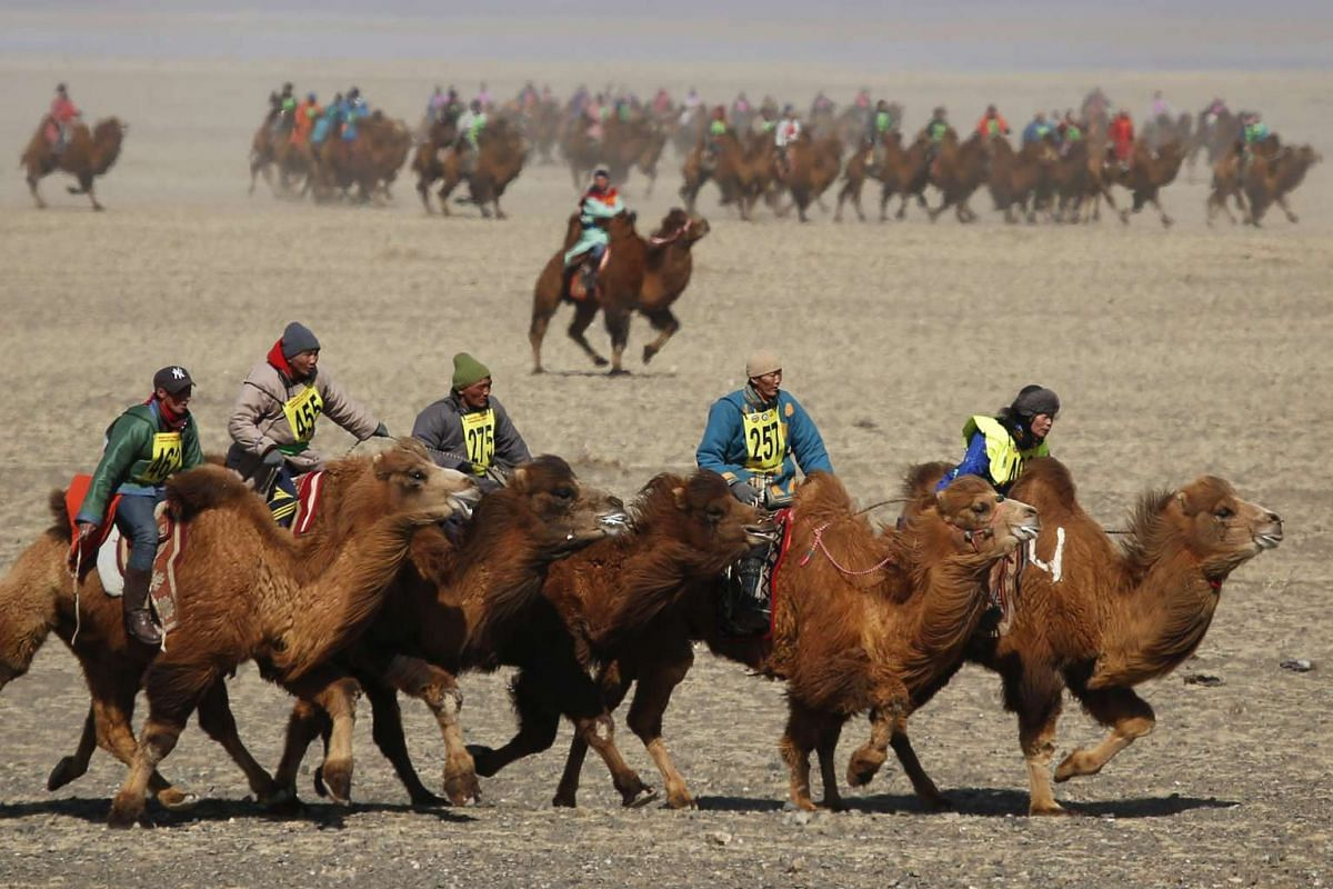 Contestants ride during a camel race at Temeenii bayar, the Camel Festival, in Dalanzadgad, Mongolia, on March 7, 2016.