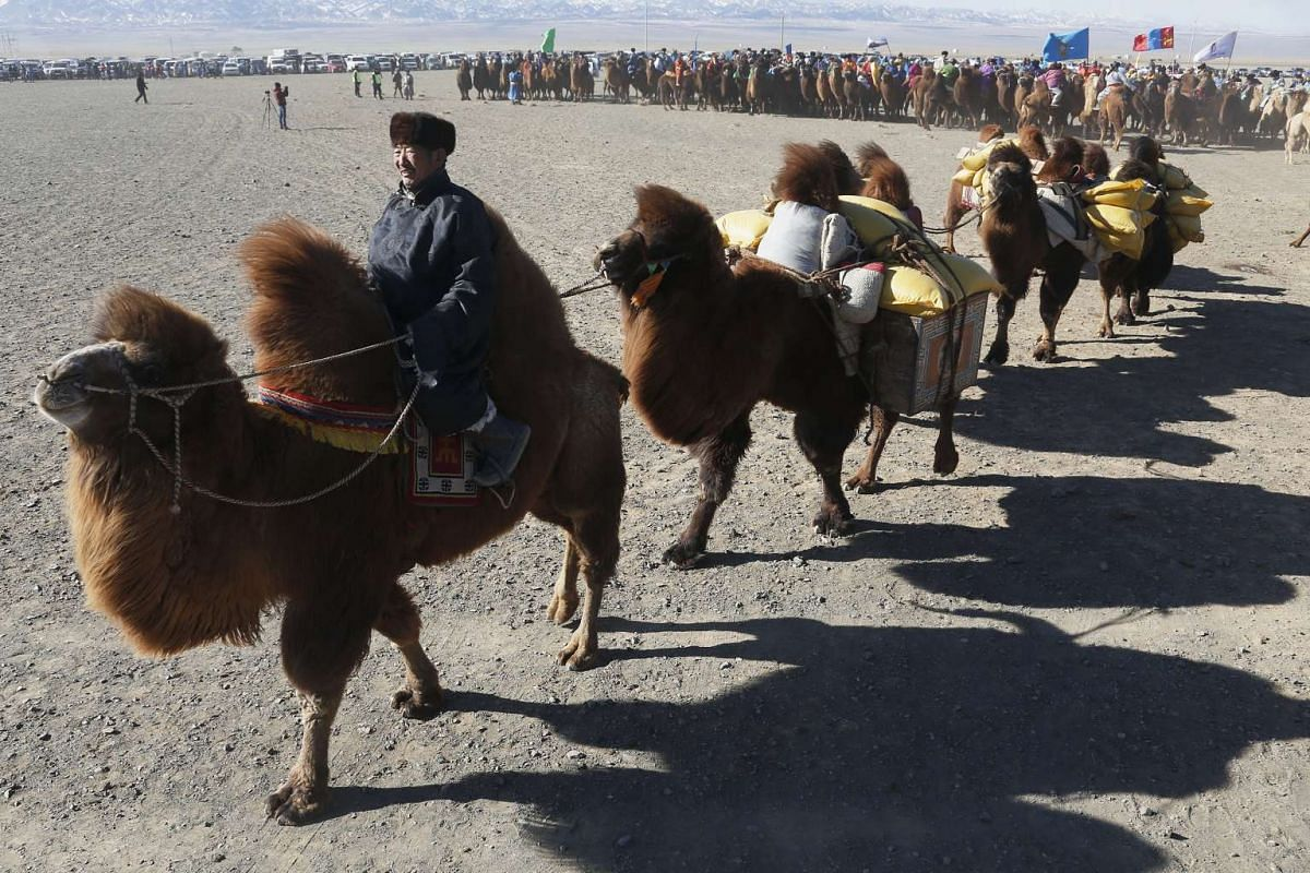 A man leads camels during Temeenii bayar, the Camel Festival, in Dalanzadgad, Mongolia, on March 6, 2016.