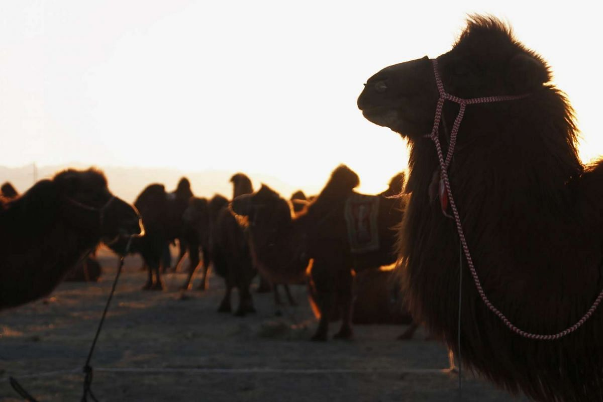 Camels are seen against the sunset during Temeenii bayar, the Camel Festival, in Dalanzadgad, Mongolia, on March 6, 2016.