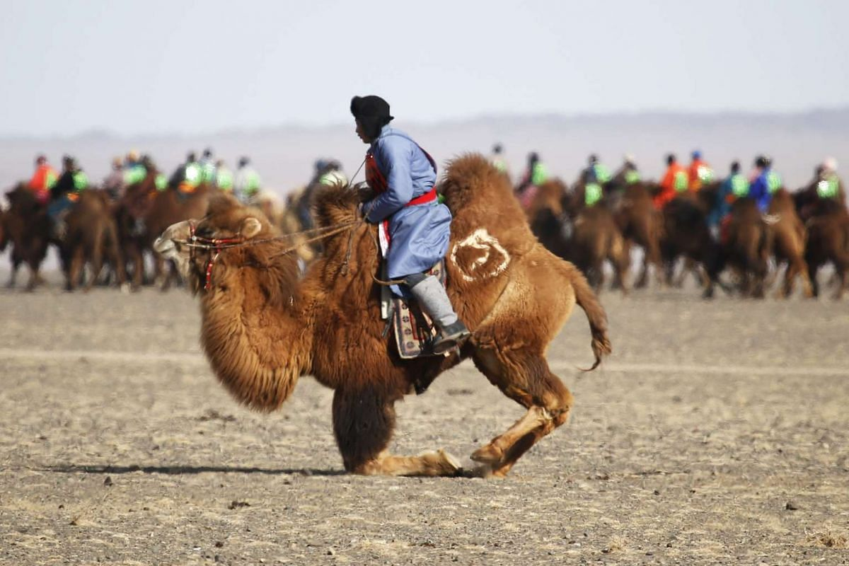 A camel kneels down during Temeenii bayar, the Camel Festival, in Dalanzadgad, Mongolia, on March 7, 2016.