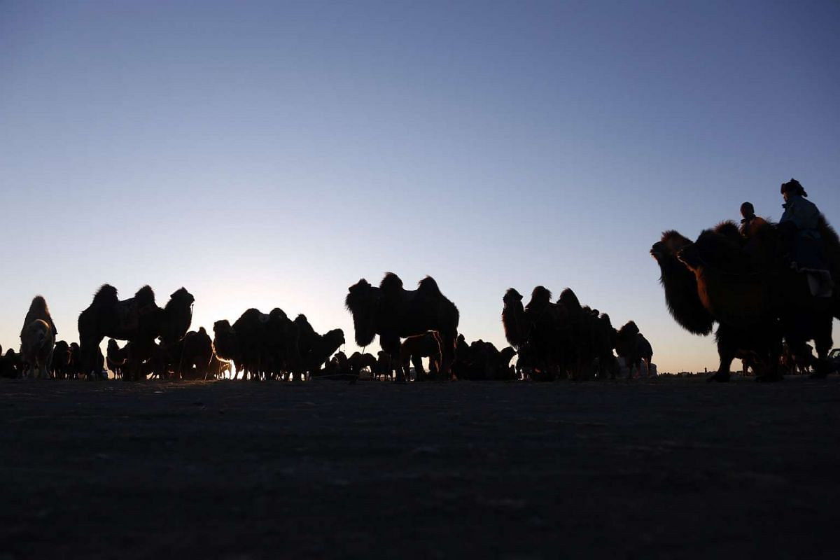 Camels are seen in the sunset during Temeenii bayar, the Camel Festival, in Dalanzadgad, Mongolia, on March 6, 2016.