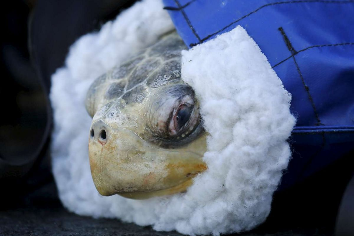 One of two rescued endangered olive ridley turtles arriving at Sea World's animal rescue center after being flown from the Oregon coast to San Diego, California, on March 30, 2016.