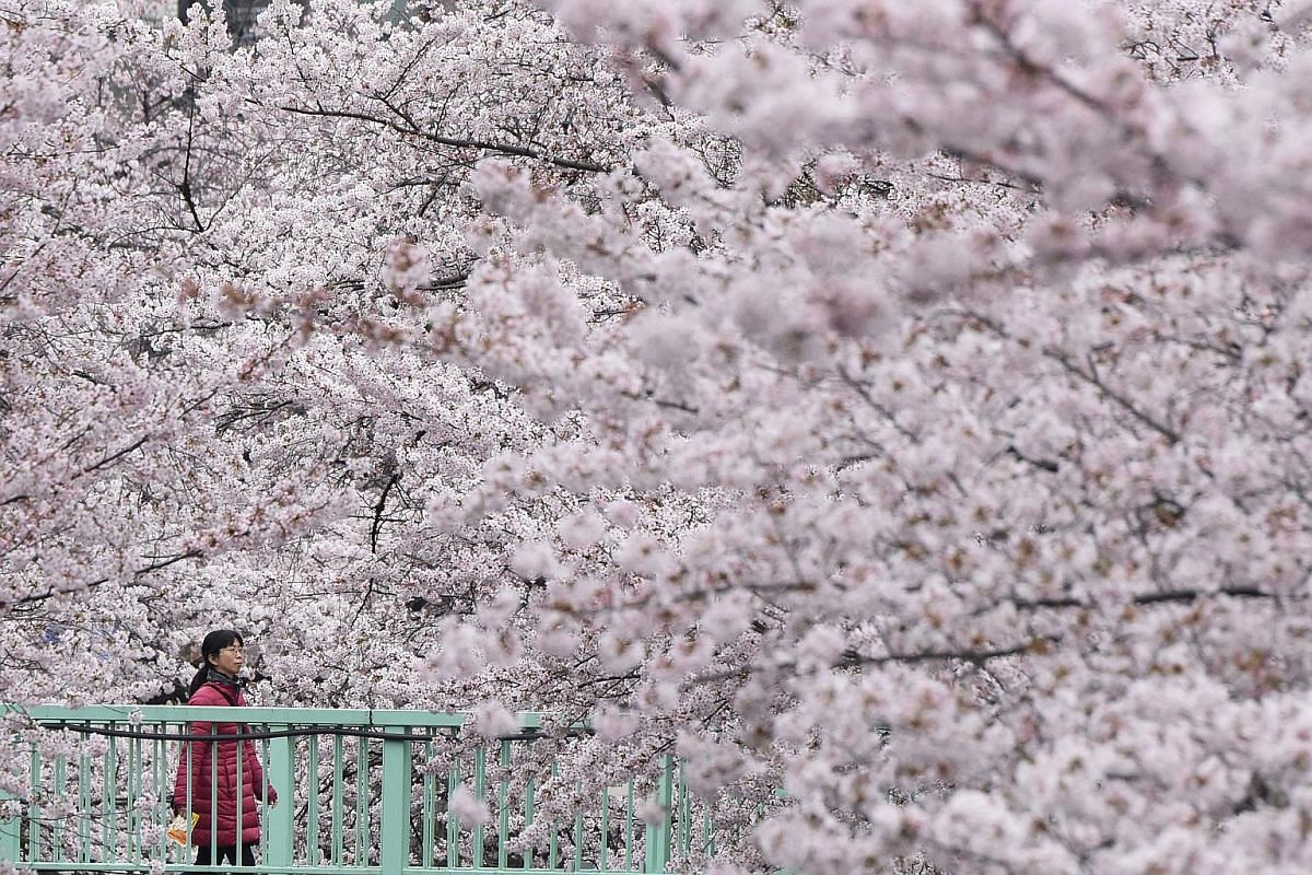 A woman walking on an esplanade covered with cherry blossoms in Tokyo on April 2.