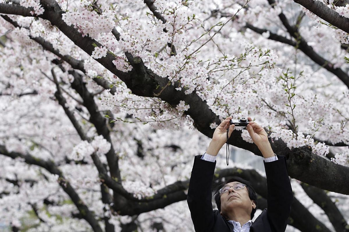 A man taking a photograph of cherry trees in bloom at a park in Tokyo on April 1.