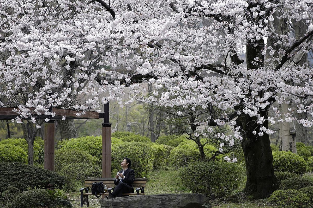 A man resting on a bench under cherry trees at a park in Tokyo on April 1, 2016.