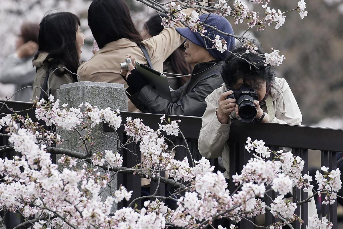 People taking photographs of cherry trees in bloom in Tokyo on April 1.