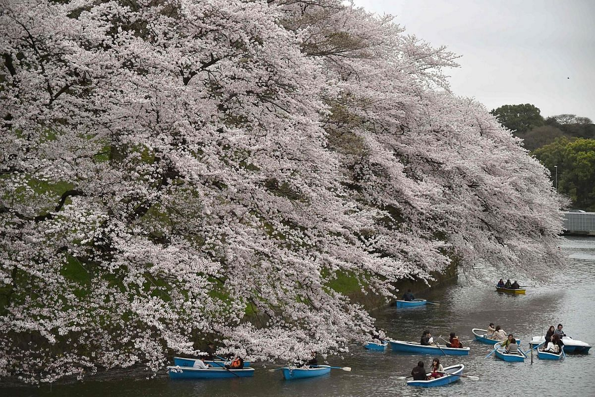 Visitors rowing boats in a moat surrounding Tokyo's Edo Castle to admire the cherry blossoms on April 4.