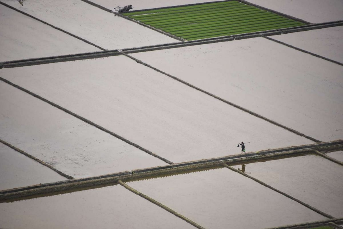 A farmer walks through rice fields in Qiantang village of Suichuan county, Jiangxi Province, China, April 6, 2016. PHOTO: REUTERS/CHINA DAILY