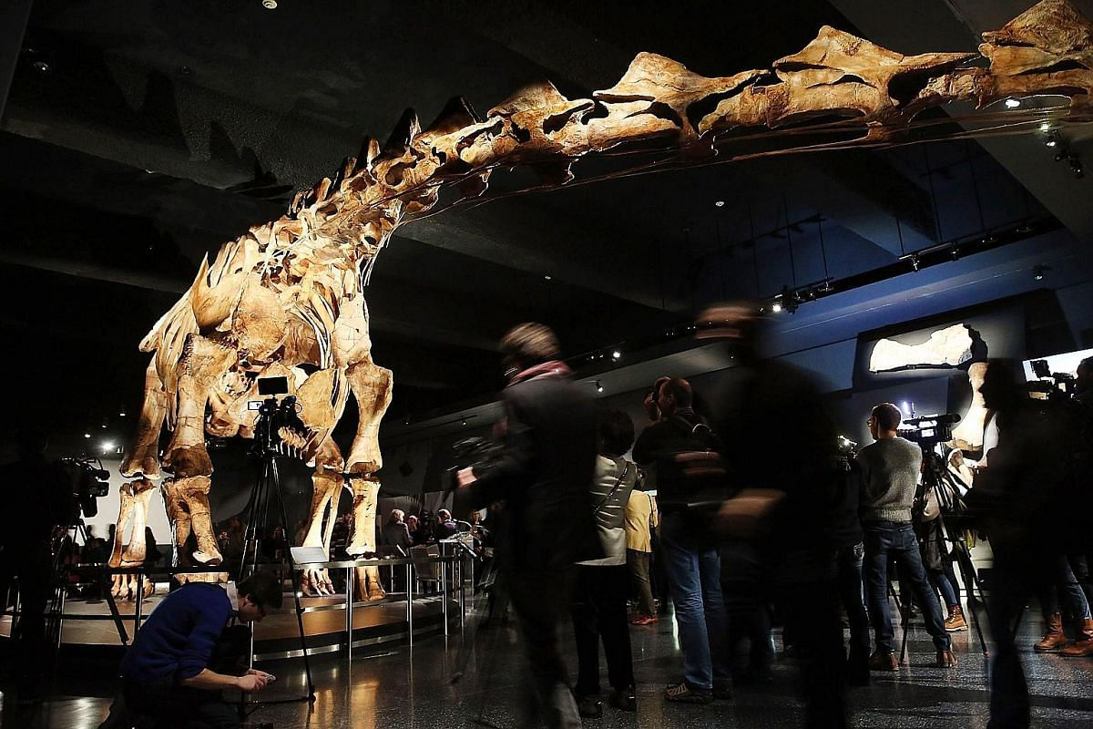 A skeleton model of a Spinosaurus at a temporary exhibition at the Natural History Museum in Berlin, Germany. Stuffed leopards on display in a taxidermy hall at the Museum of Natural History in Paris, France. A replica of one of the largest dinosaurs