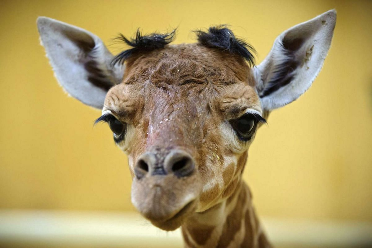 A newborn reticulated giraffe baby is seen in its enclosure in the Debrecen Zoological and Botanical Garden in Debrecen, Hungary, April 11, 2016. The baby is the very first of its kind since the foundation of the Debrecen Zoo. PHOTO: EPA
