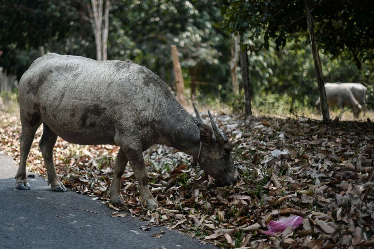 A buffalo eats grass hidden under a cover of dead leaves as schools remain closed due to the ongoing heatwave in Temerloh, outside Kuala Lumpur, on April 11, 2016.