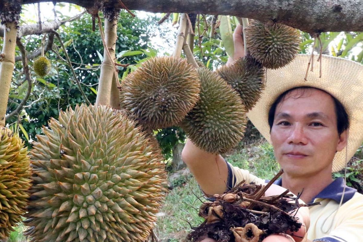 Eric Chong, owner of Green Acres farm near Georgetown, Penang, shows the dried flowers from his durian trees on April 11, 2016. Durian supply is expected to drop by about 40 per cent this year due to the hot weather.
