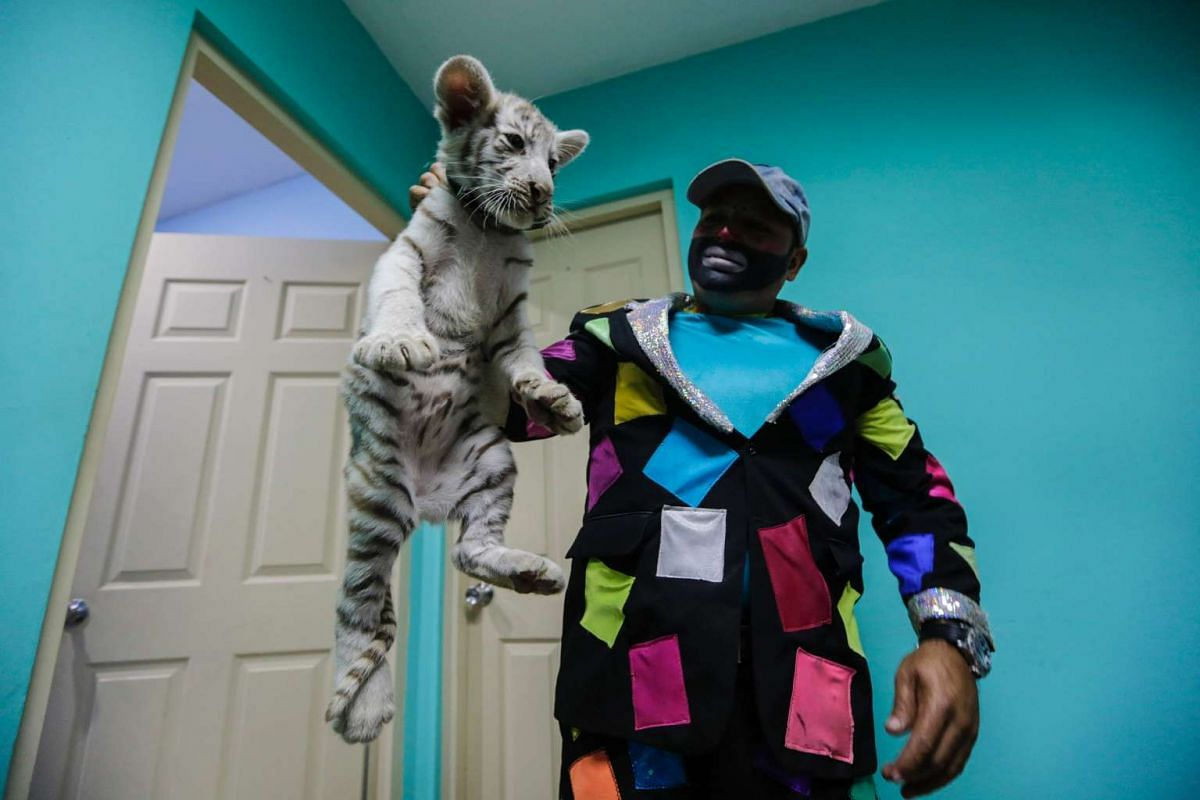 Pepe the clown poses with a white Bengal tiger from Renato's Circus during a presentation in a radio station in Managua, Nicaragua, on April 12, 2016. PHOTO: AFP