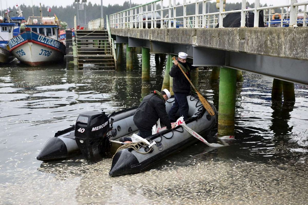 Navy members use an inflatable boat at a fishing bay covered with dead sardines at Queule River in southern Chile, April 13, 2016. PHOTO: REUTERS