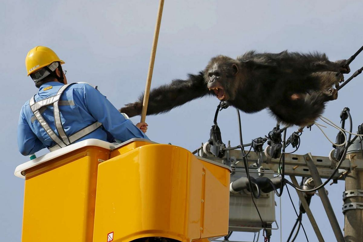 Male chimpanzee Chacha screams after escaping from nearby Yagiyama Zoological Park as a man tries to capture him on the power lines at a residential area in Sendai, northern Japan, in this photo taken by Kyodo, April 14, 2016. PHOTO: REUTERS/HANDOUT