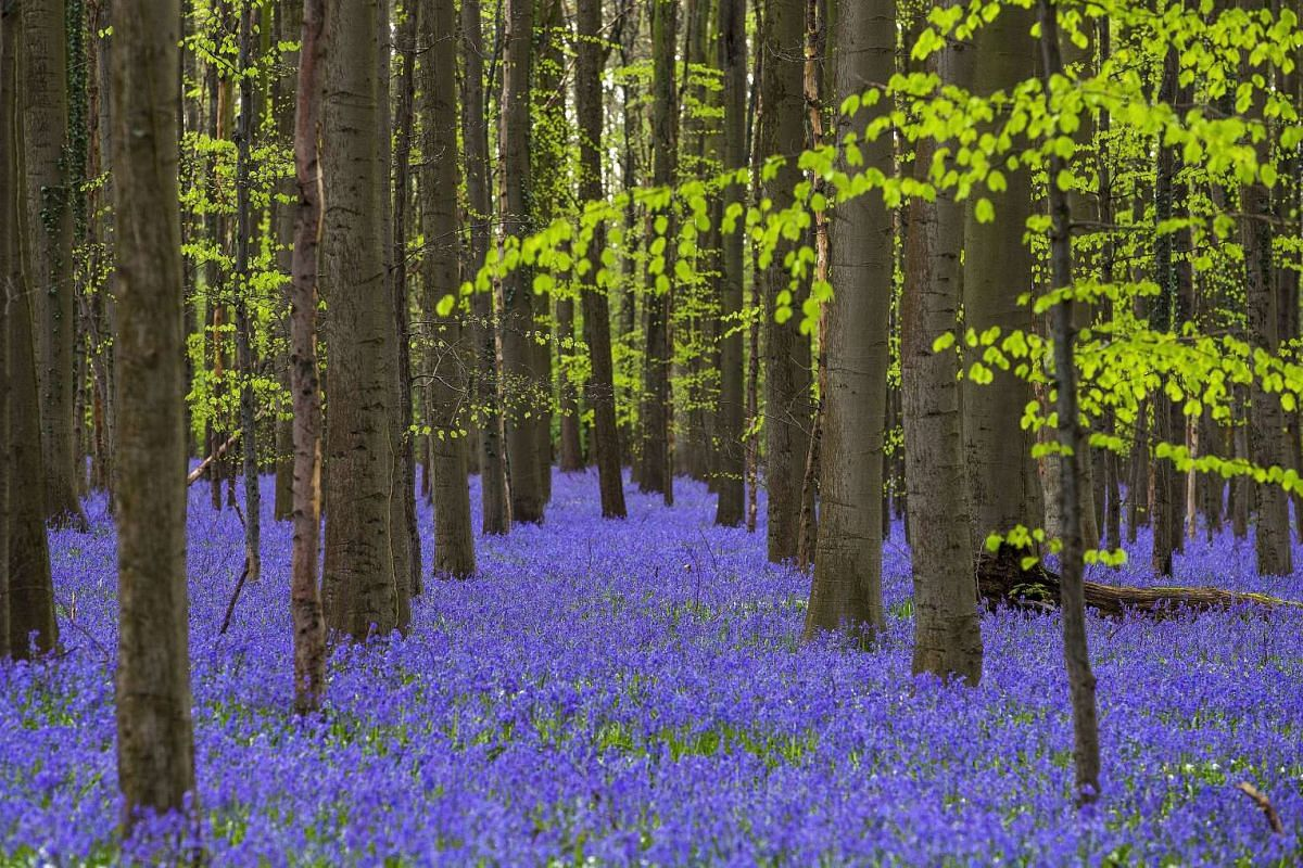 """Wild bluebells, which bloom around mid-April, turning the forest completely blue, forming a carpet in the Hallerbos, also known as the """"Blue Forest"""", near the Belgian city of Halle, Belgium on April 17, 2016."""
