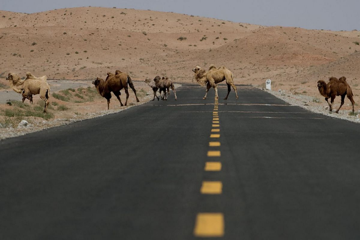 Camels crossing a road during an off road mapping of the Silk Way Rally 2016 in the Gobi desert around 2,000km north-west from Beijing, on April 19, 2016.