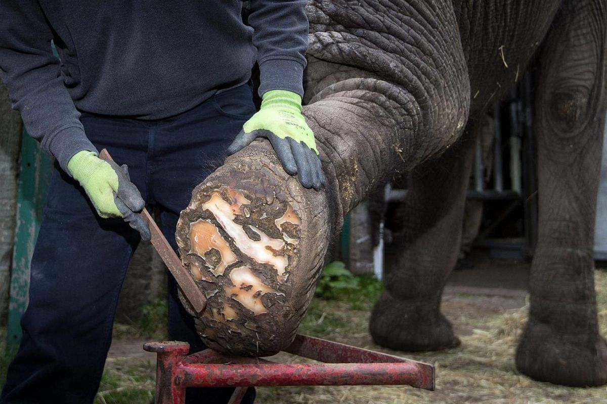 Zookeeper Stefan Frank using a nail file on a foot of female elephant 'Benji' at Stukenbrock zoo in Schloss Holte-Stukenbrock, Germany, on April 19, 2016.