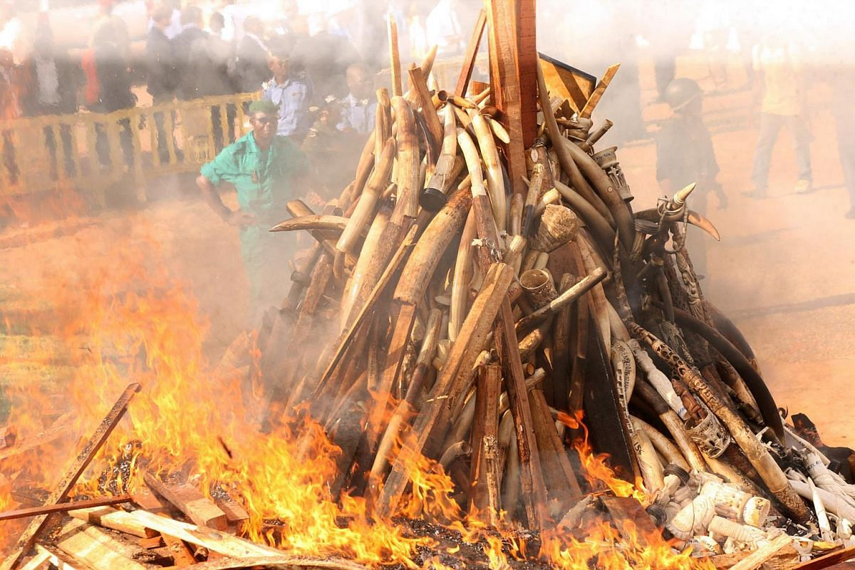 A pile of ivory being burned in Yaounde on April 19, 2016.