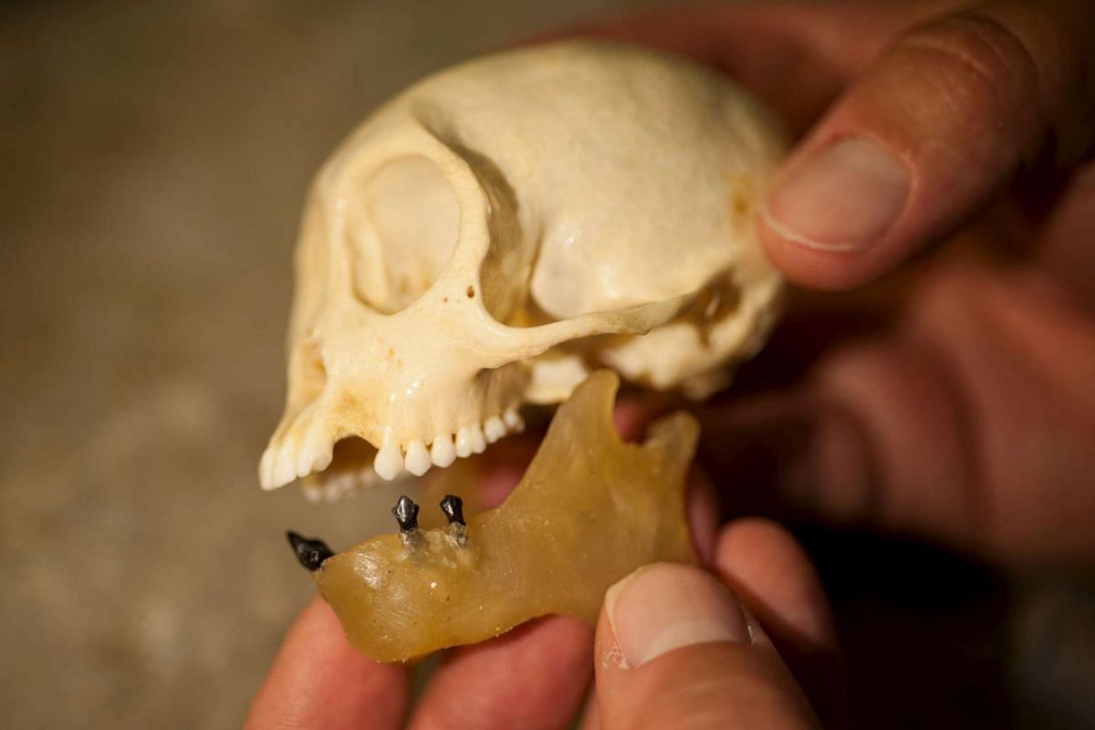 Placed in a wax jaw, fossil teeth belonging to Panamacebus transitus are compared with those of a modern female tufted capuchin, Cebus apella, in this picture courtesy of the Florida Museum of Natural History.
