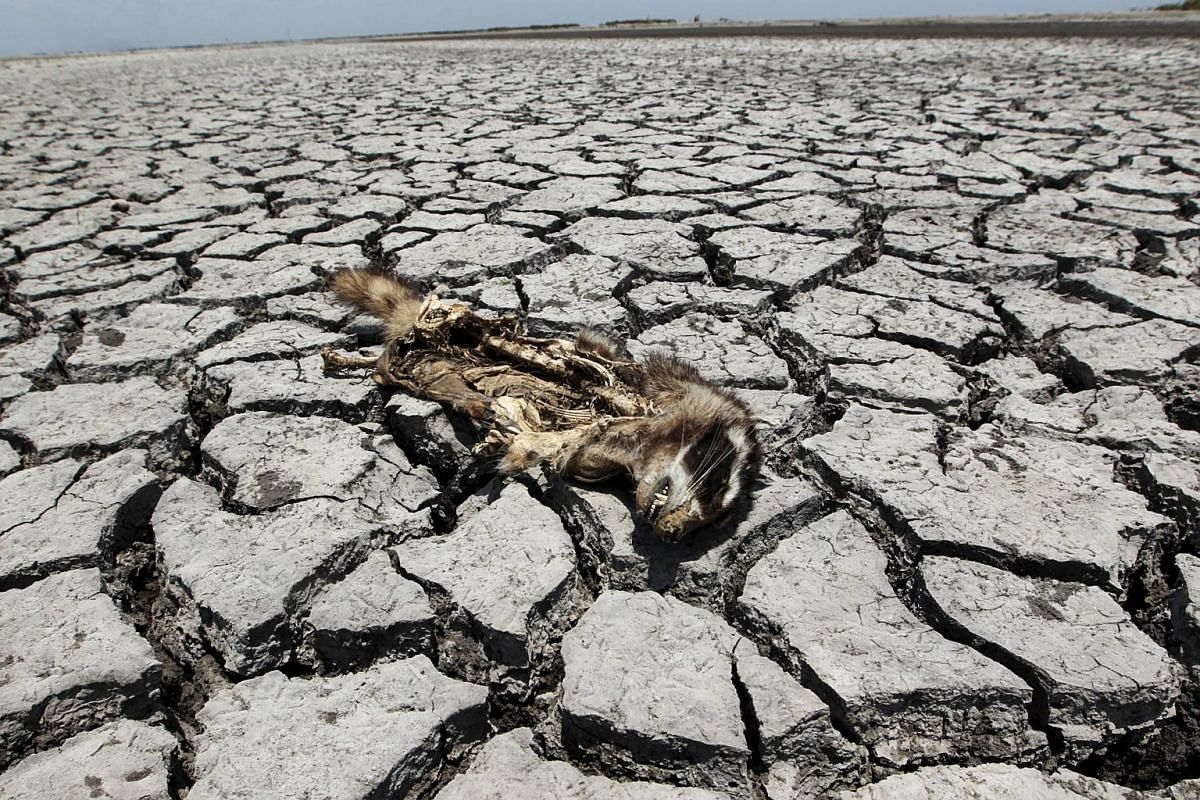 A dead raccoon lying on the dried ground at the Tisma Lagoon wetland park due to drought affecting Tisma town, Nicaragua, on April 20, 2016.