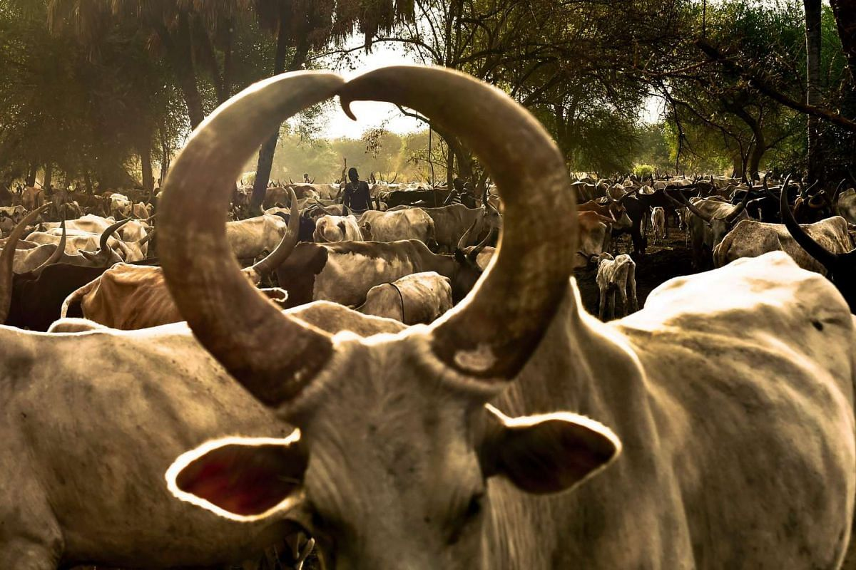 A Dinka girl stands at a cattle camp in Toch, Warrap state in South Sudan on April 24, 2016. The camp houses over 10,000 Ankoli longhorn cattle and is supported by Veterinaires Sans Frontieres - Germany, which helps the farmers with medicine and vacc