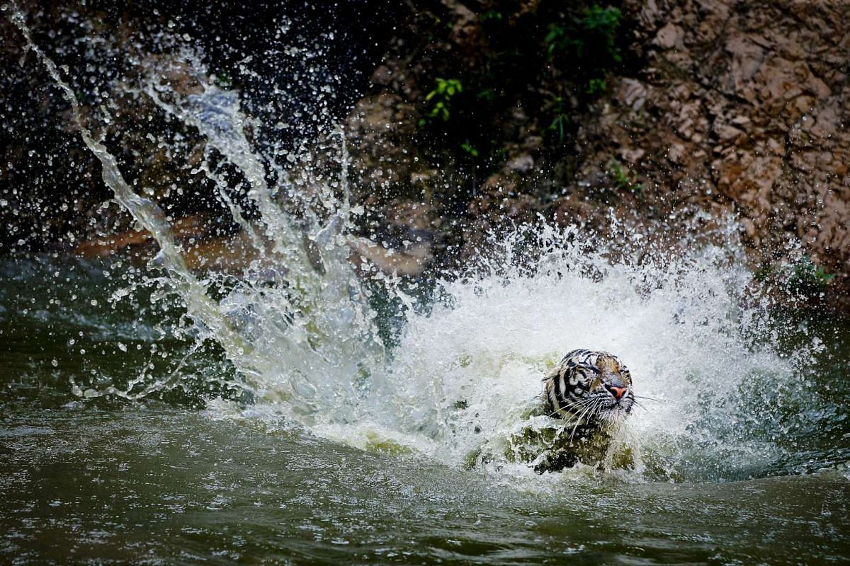 A tiger playing in the water at the Tiger Temple in Kanchanaburi province, Thailand on April 24, 2016.