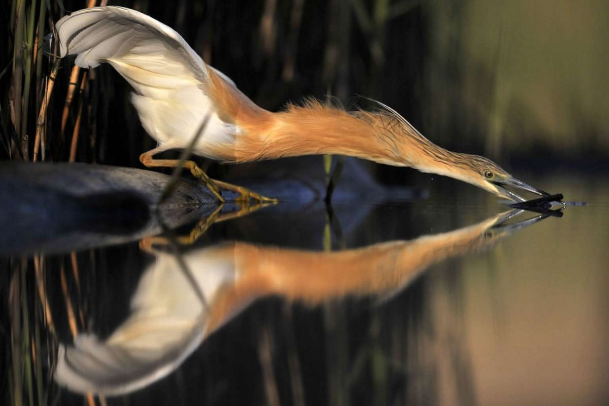 A squacco heron lunges for a fish near Pusztaszer, some 140km south-east of Budapest, Hungary, on April 26, 2016.