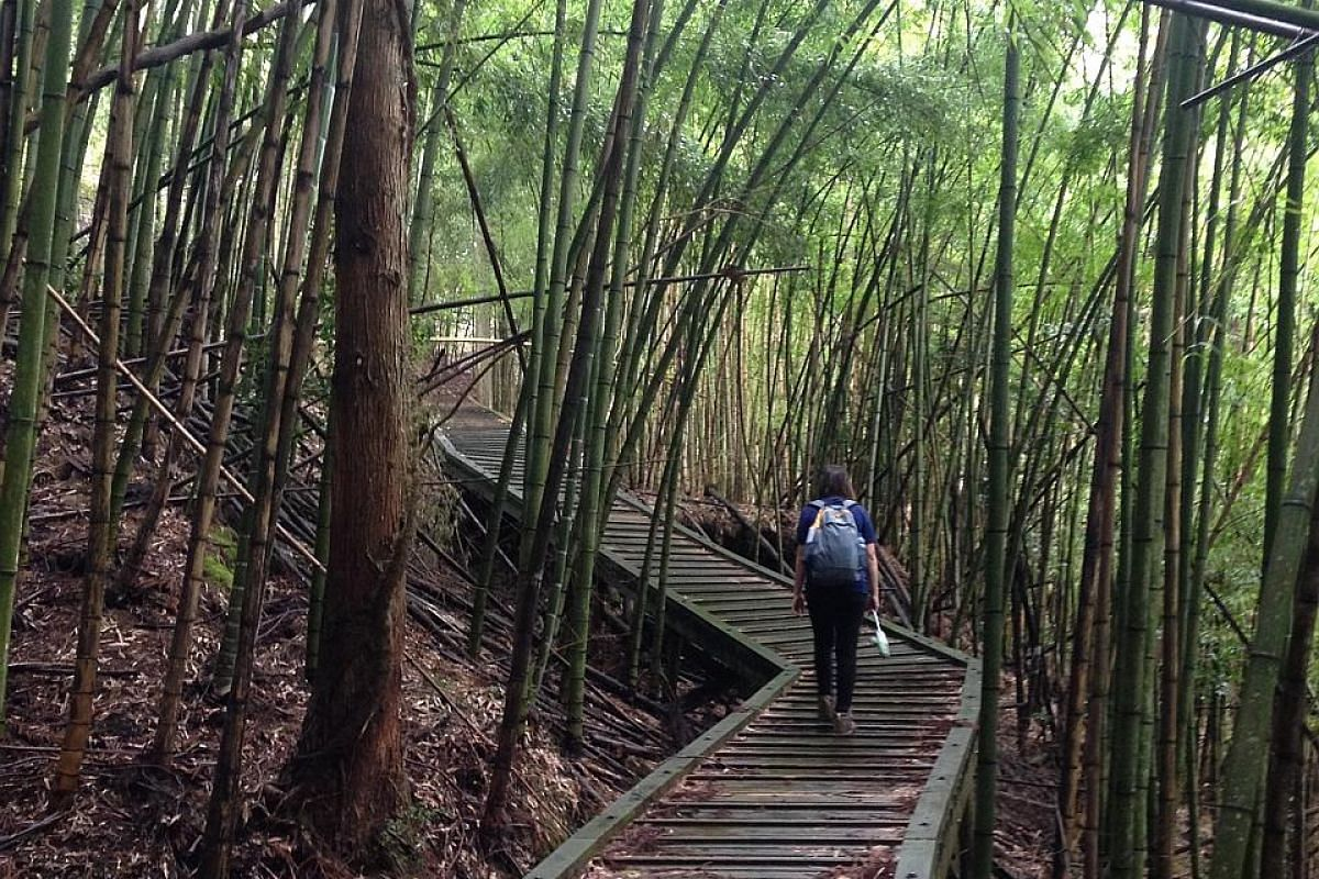 Walking though a bamboo forest along the trail.