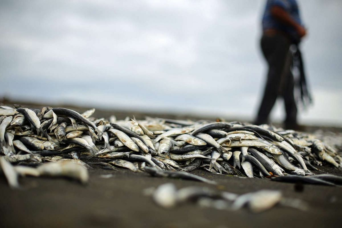 A view of dead sardines washed ashore at the cove of La Barra, in the region of Araucania, Chile, on May 15, 2016.