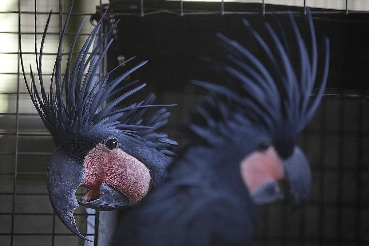 A breeding pair of black palm cockatoos (far left). As part of his job, Mr Jacildo also plays the role of matchmaker, pairing birds up and ensuring their compatibility. He uses a torchlight to check on the egg (left) of a black palm cockatoo taken fr