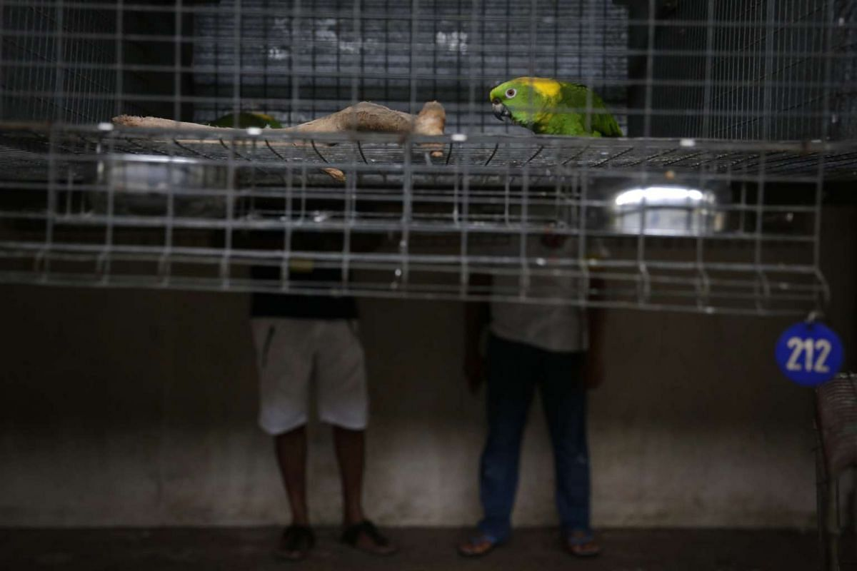 A yellow-naped amazon looks on as Mr Rosendo Jacildo (right) accompanies an interested buyer on a tour of the aviary on May 2, 2016.