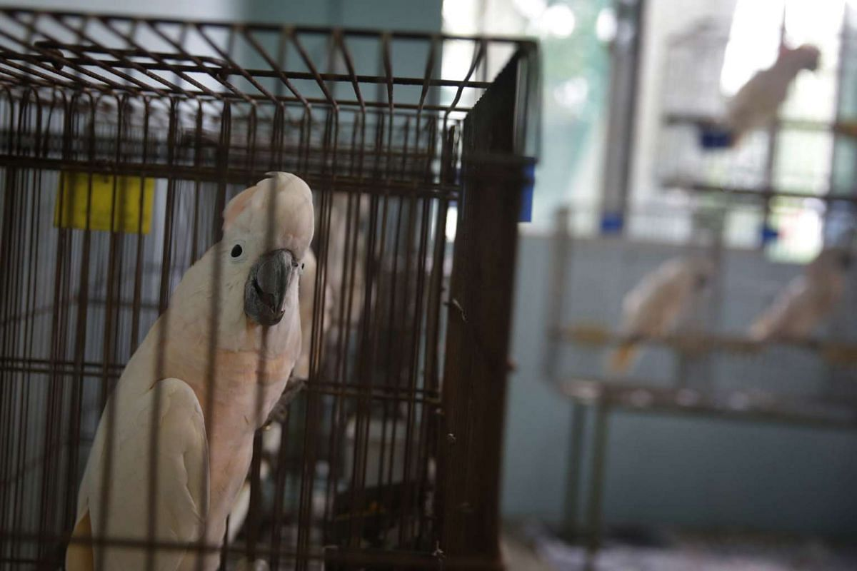 Moluccan Cockatoos bound for Taiwan in the quarantine room on April 27, 2016.