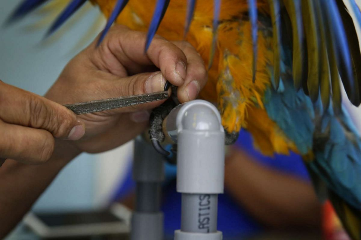 Mr Rosendo Jacildo grooms the nails of a three-month-old blue-and-gold macaw before it makes its way to a new home, on May 13, 2016.