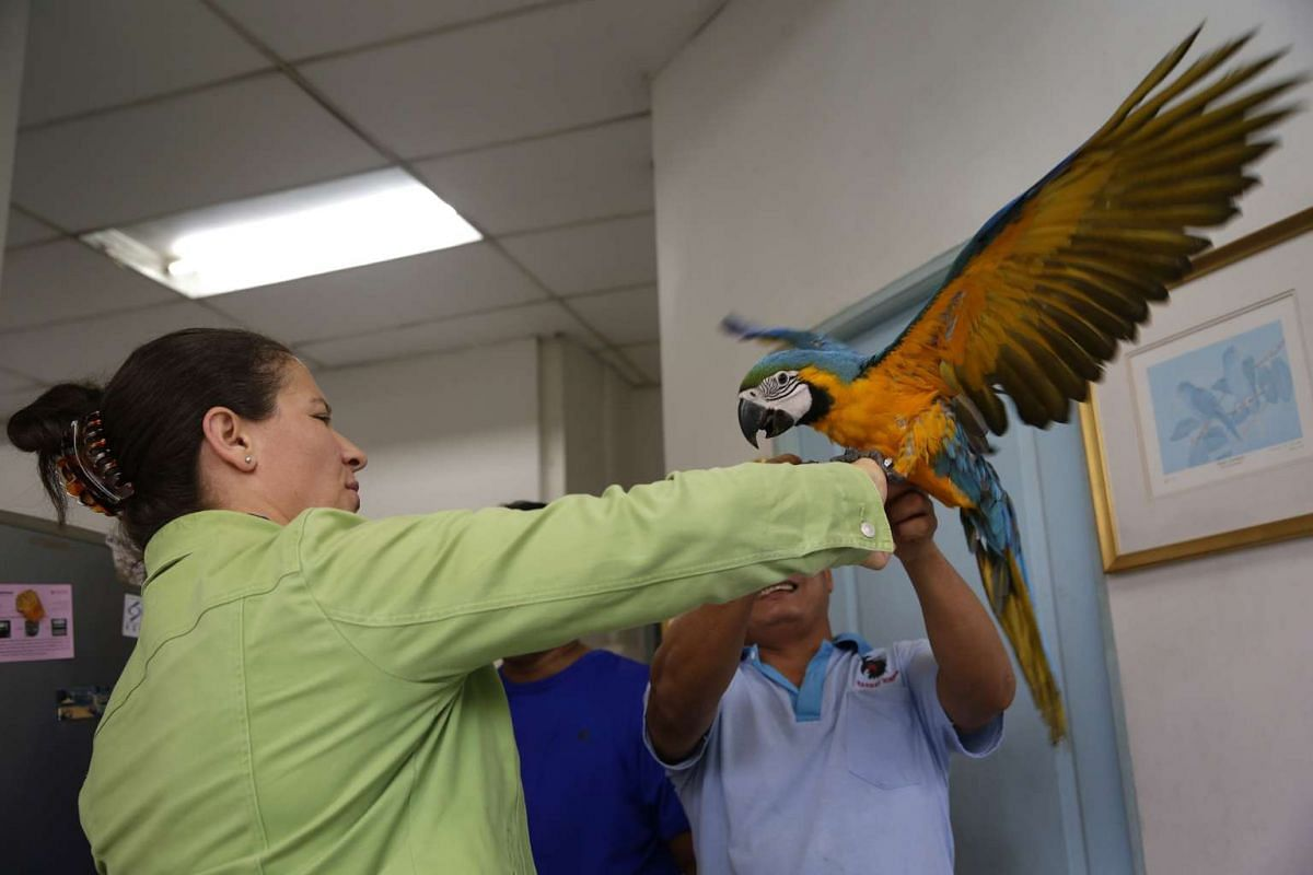 Mr Rosendo Jacildo handing a three-month-old blue-and-gold macaw to its new owner on May 13, 2016.