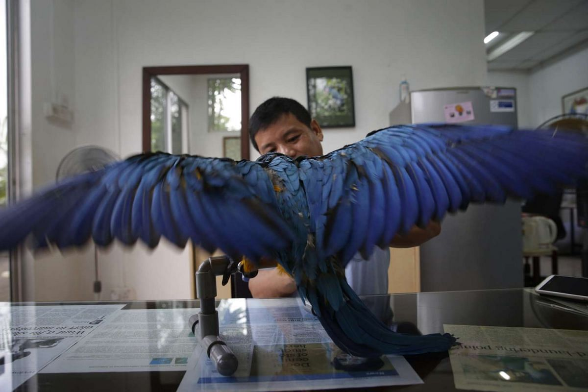 As part of a pre-sale routine, Mr Rosendo Jacildo grooms the nails of a three-month-old blue-and-gold macaw before it makes its way to a new home, on May 13, 2016.