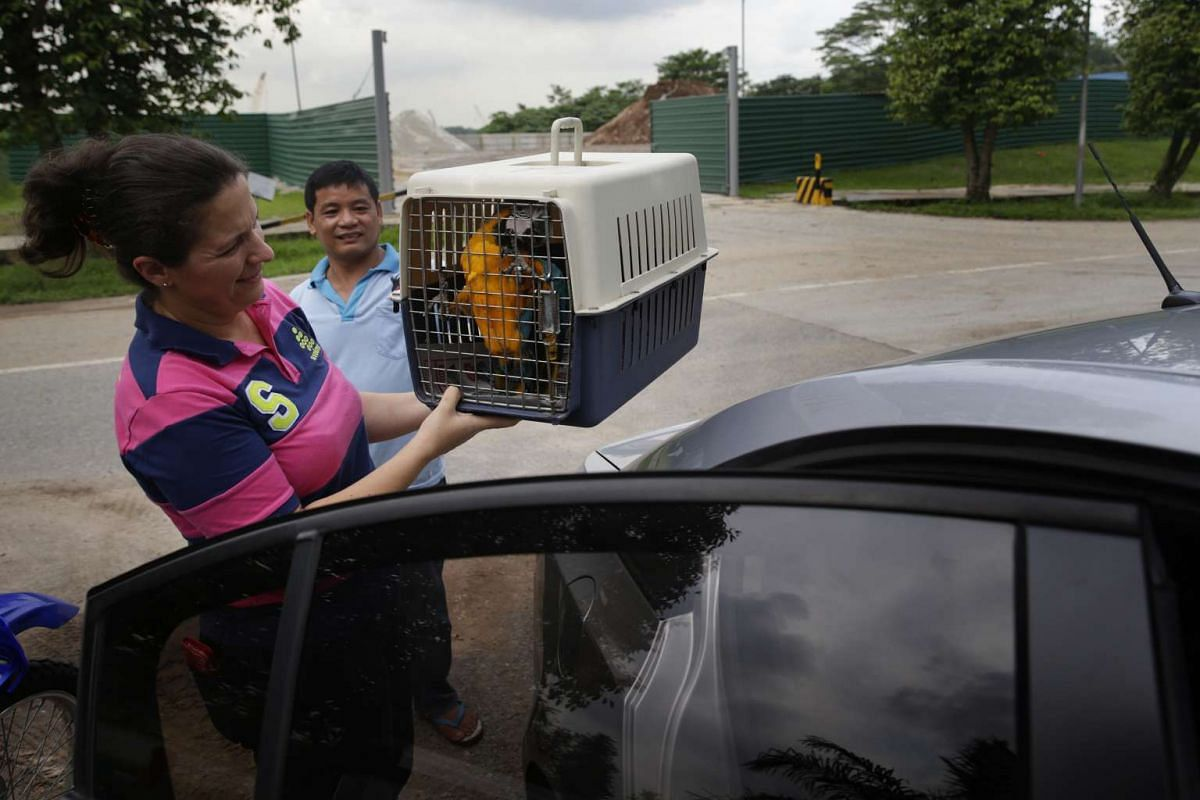 Under the watchful eyes of Mr Rosendo Jacildo, a three-month-old blue-and-gold macaw makes its way with its new owner to a new home on May 13, 2016.