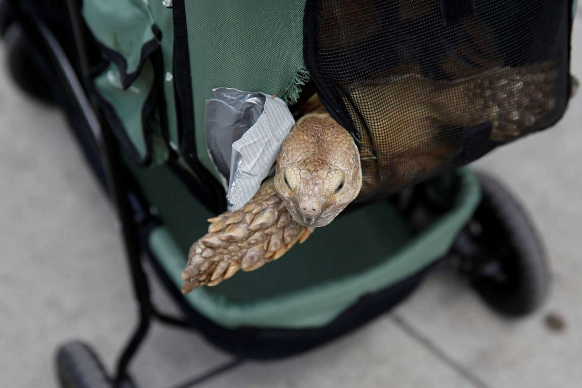 Henry, an African spurred tortoise, peeks out of his stroller in New York, on May 19, 2016.