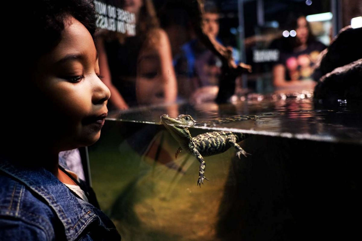 """Children watch baby American alligators swimming in a tank at the American Museum of Natural History during the press preview of the exhibition """"Crocs: Ancient Predators in a Modern World"""" on May 24, 2016 in New York. PHOTO: AFP"""