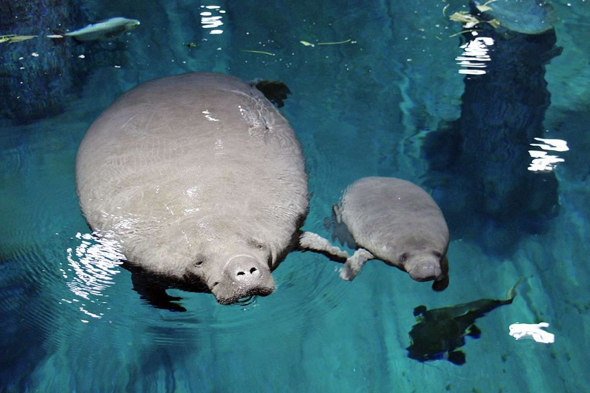 River Safari's first animal icon, 22-month-old Canola with her mother, 24-year-old Eva.