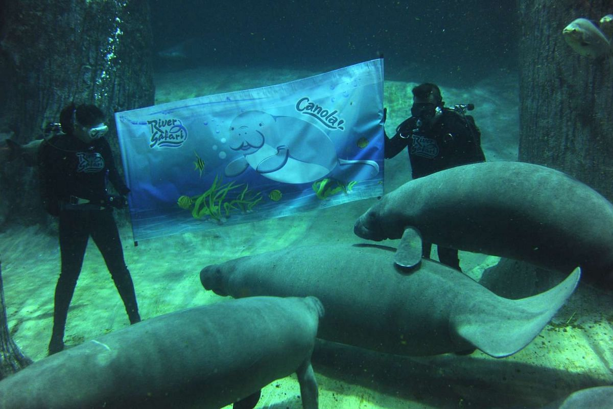 River Safari unveils its first animal icon Canola the manatee underwater in the world's largest freshwater aquarium, the Amazon Flooded Forest.