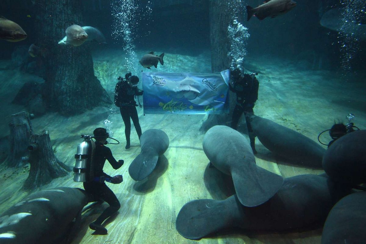 River Safari unveils its first animal icon: Canola the manatee, underwater in the world's largest freshwater aquarium, the Amazon Flooded Forest.