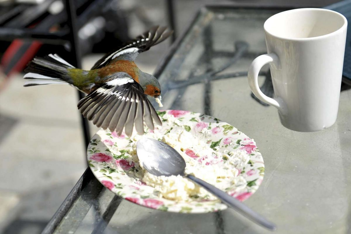 A Chaffinch bird eats the remains of a cake during Britain's Prince Charles and his wife's visit to Glenveagh National Park during a tour to Donegal, Ireland May 25, 2016. PHOTO: REUTERS