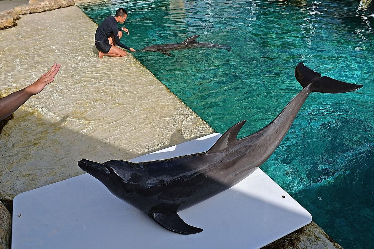 A full-grown dolphin can leap 6m into the air. The life expectancy of a dolphin is up to 45 years. Bottlenose dolphins are smart and sociable and have acute hearing abilities. Here, one leaps out of the water in anticipation of early morning activiti
