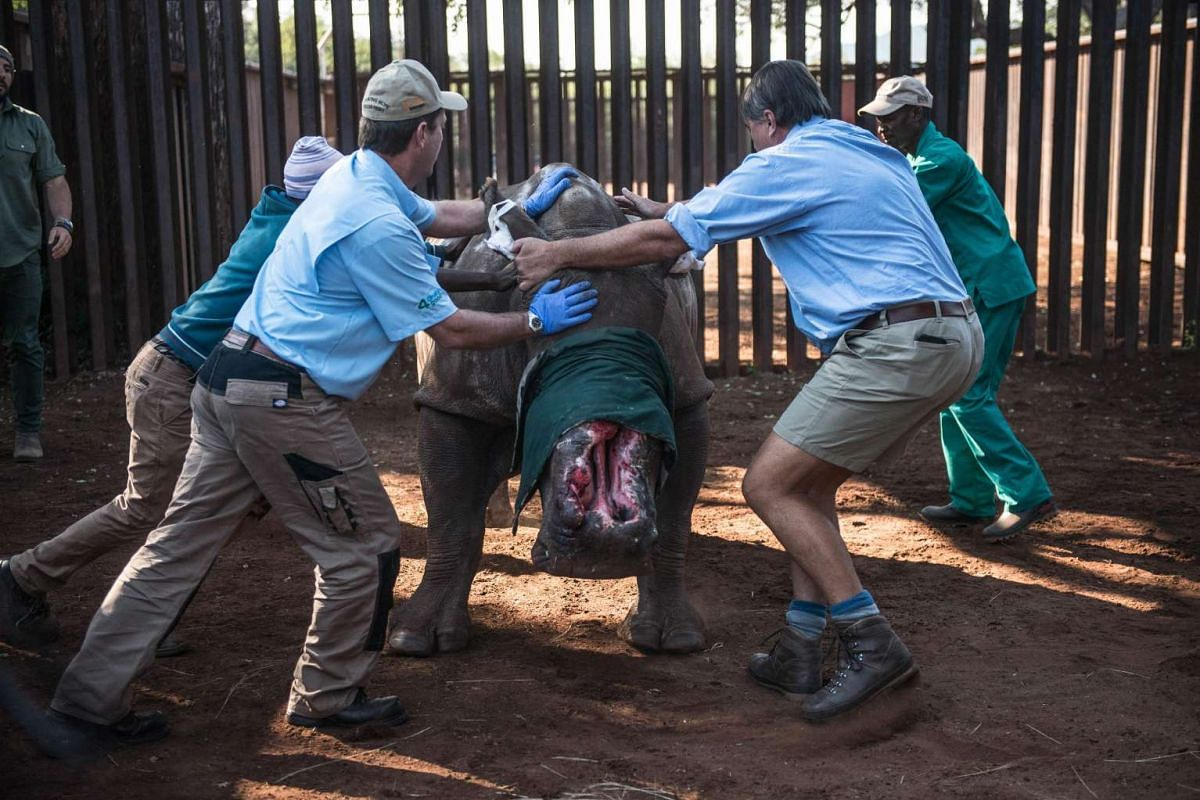 South African veterinarians trying to control a poached de-horned rhinoceros that was left to die on a ranch in Bela Bela district, on May 20, 2016.